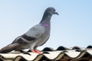 Pigeon Control, Pest Control in Raynes Park, South Wimbledon, SW20. Call Now 020 8166 9746