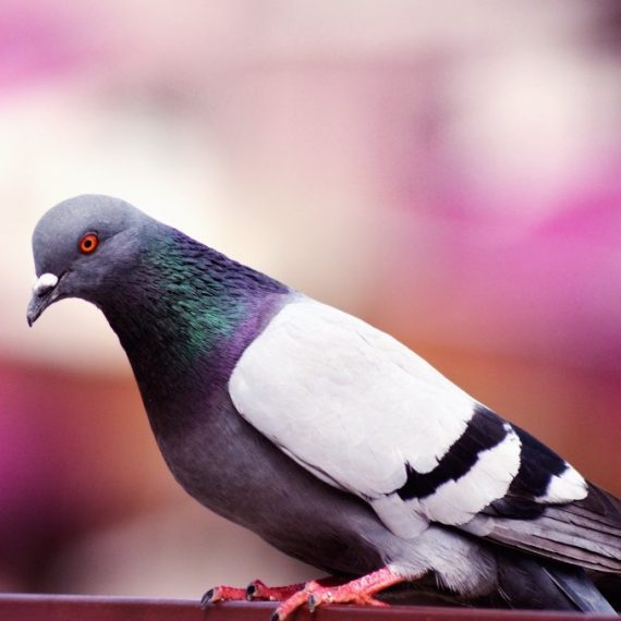 Birds, Pest Control in Raynes Park, South Wimbledon, SW20. Call Now! 020 8166 9746