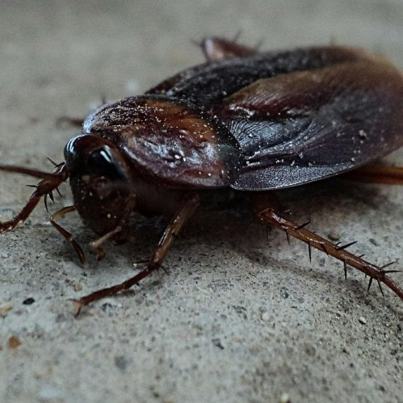 Cockroaches, Pest Control in Raynes Park, South Wimbledon, SW20. Call Now! 020 8166 9746