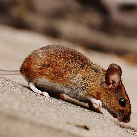 Mice, Pest Control in Raynes Park, South Wimbledon, SW20. Call Now! 020 8166 9746