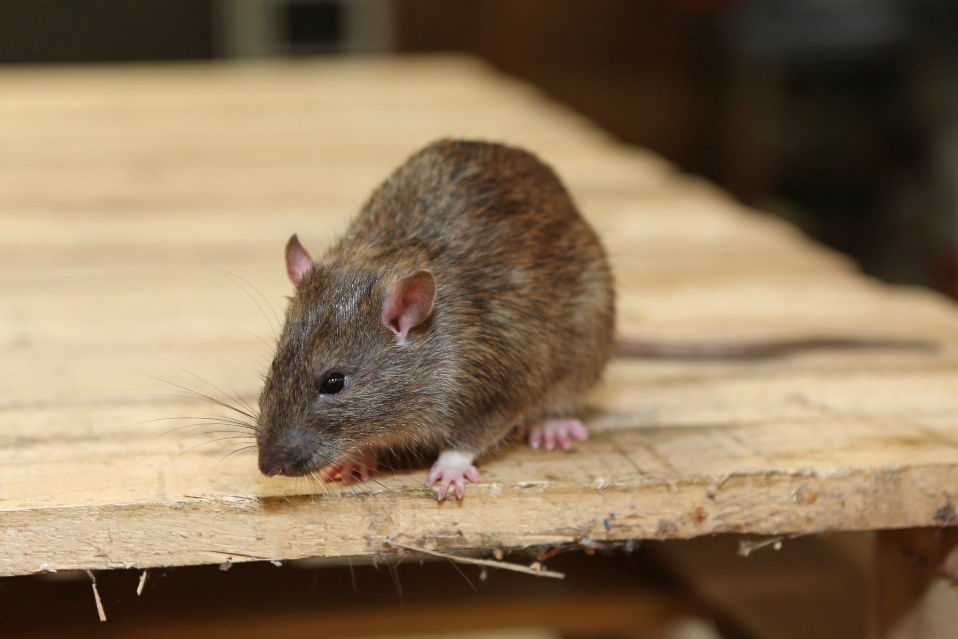 Rat Control, Pest Control in Raynes Park, South Wimbledon, SW20. Call Now 020 8166 9746