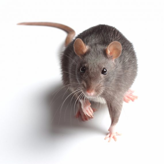 Rats, Pest Control in Raynes Park, South Wimbledon, SW20. Call Now! 020 8166 9746