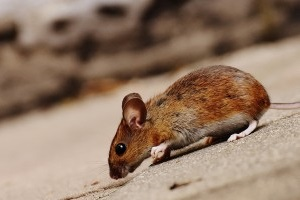Mouse extermination, Pest Control in Raynes Park, South Wimbledon, SW20. Call Now 020 8166 9746