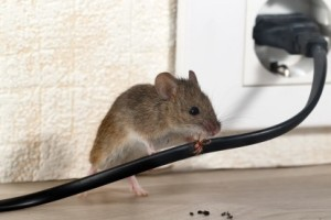 Mice Control, Pest Control in Raynes Park, South Wimbledon, SW20. Call Now 020 8166 9746