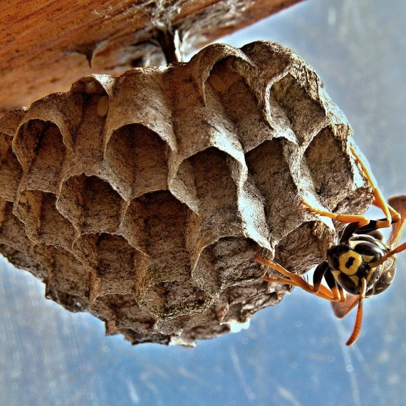 Wasps Nest, Pest Control in Raynes Park, South Wimbledon, SW20. Call Now! 020 8166 9746